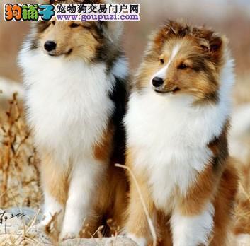 五折 出售纯种喜乐蒂牧羊犬 健康质保签订协议