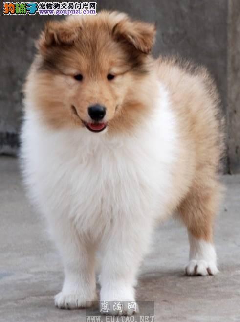 武汉地区超低价出售赛级苏格兰牧羊犬