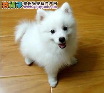精品纯种武汉银狐犬出售质量三包爱狗人士优先