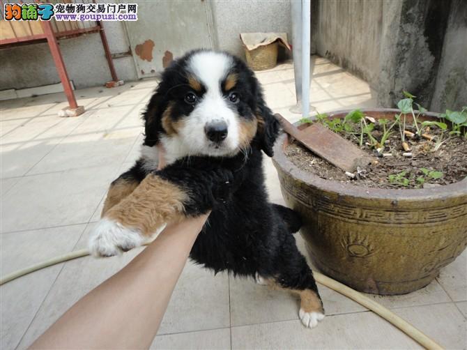 伯恩山幼犬驱虫疫苗已做纯种健康
