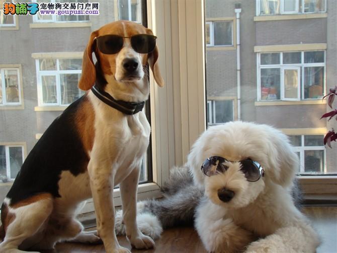 猎兔犬比格出售纯血统健康权威犬舍认证签协议保健康