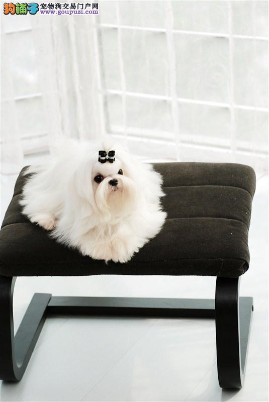 贵族气质 纯种白色马尔济斯犬宝宝自家繁殖的