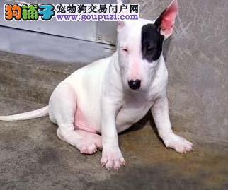 天津出售极品牛头梗幼犬完美品相喜欢的别错过