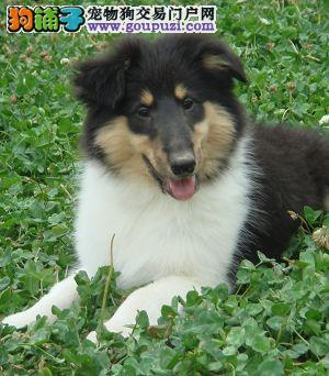 榆林出售纯种苏格兰牧羊犬签协议 保证健康成活