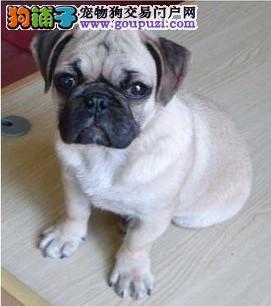犬舍直销品种纯正健康北京巴哥犬质保三年支持送货上门