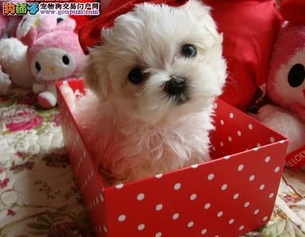 本犬业出售高贵,迷人的马尔济斯犬