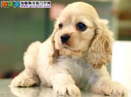 大耳朵精品健康可卡幼犬可签证