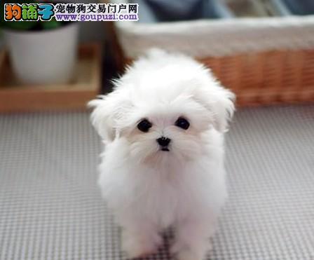 雪白高贵的马尔济斯犬买卖 漂亮的马尔济斯狗