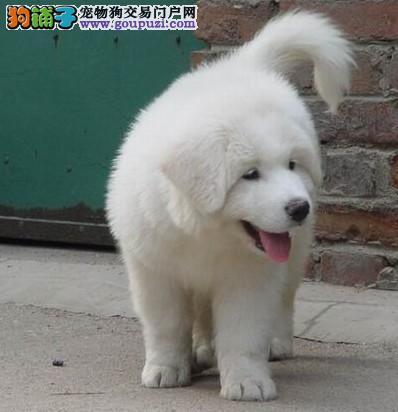 江苏犬业基地 诚信出售 大白熊