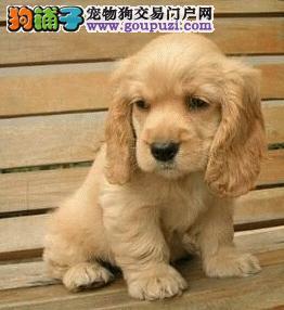 广东专业名犬养殖场提供各大中小型犬类:可卡犬