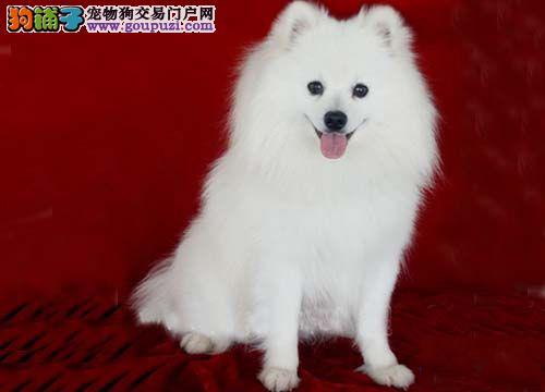 纯种银狐幼犬公母都有 品相漂亮 保健康纯种.