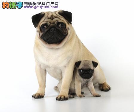 纯正巴哥犬出售 体态好骨骼好憨厚可爱纯种哈巴狗