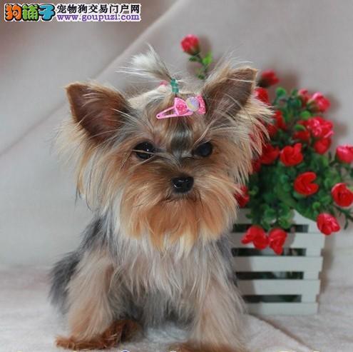 广州约克夏犬 纯种约克夏多少钱 广州哪里有狗场卖狗