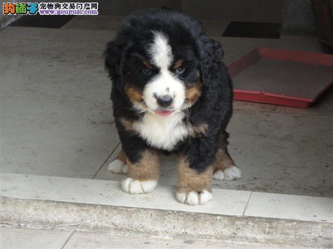 伯恩山犬养殖基地 打完疫苗有证书签协议