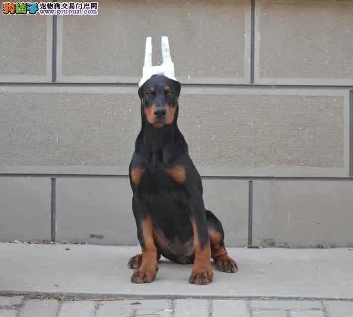 健康有保障的犬舍出售纯种杜宾幼犬可上门看可视频