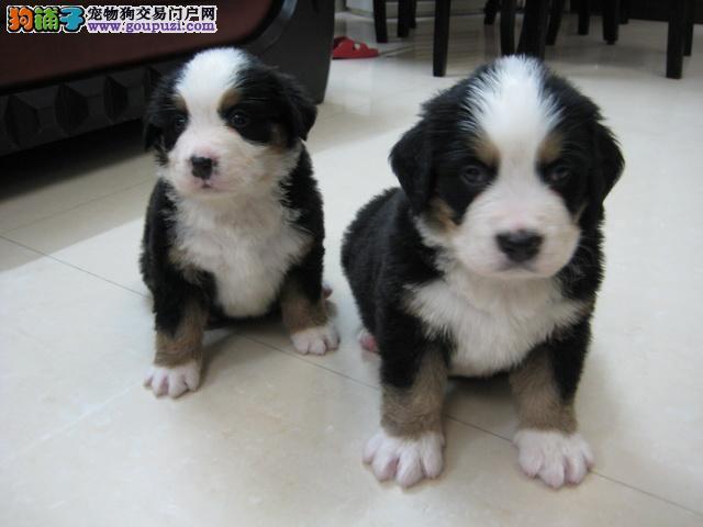 极品伯恩山幼犬,顶级品质专业繁殖,提供养护指导