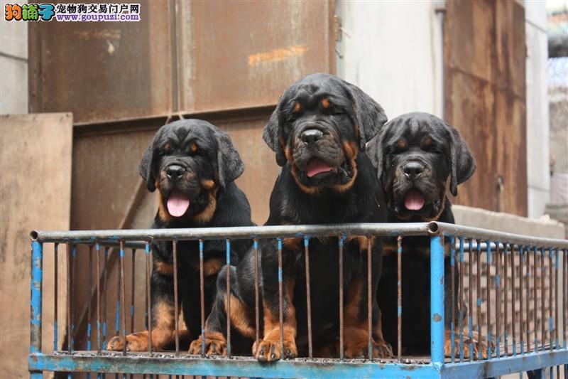 纯种罗威纳犬 德系罗威纳 2到3个月幼犬