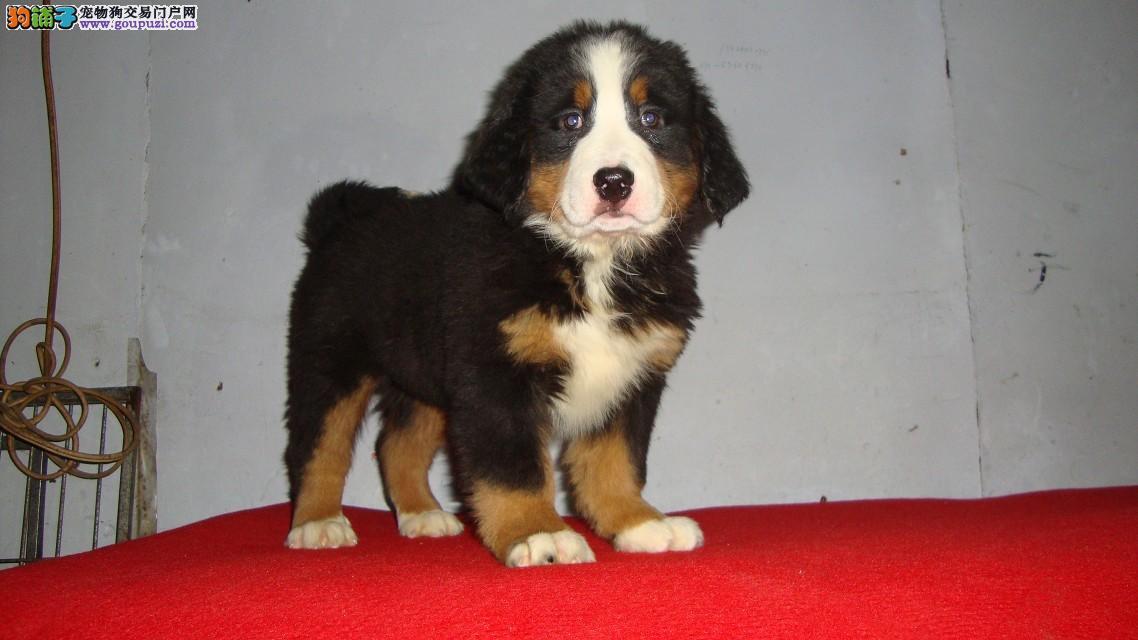 精品伯恩山幼犬一对一视频服务买着放心全国十佳犬舍