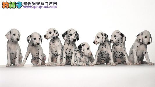 出售纯种大麦町犬、斑点狗,带有幼犬证书芯片