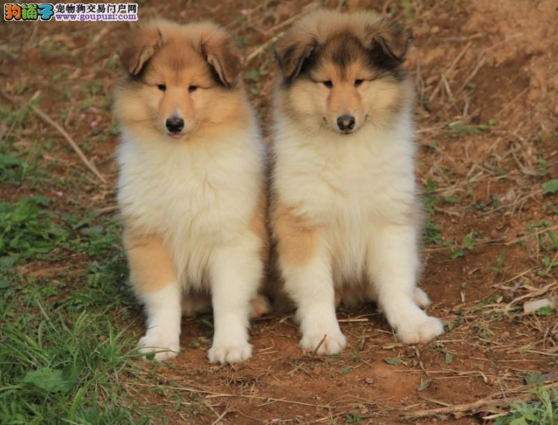 实物拍摄 冠军后代幼犬 苏格兰牧羊犬出售 疫苗齐全