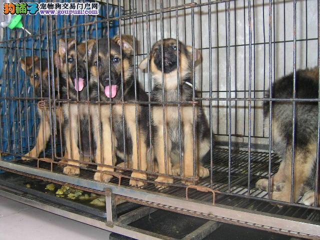 精品大头方嘴大黑脸中的精品 德国牧羊犬幼犬出售中