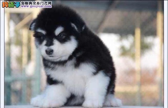 极品巨型阿拉斯 购犬签订售后协议保健康种公对外配种