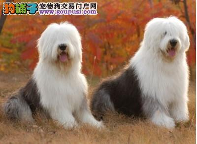 古代牧羊犬 家养宠物狗 纯种 健康 狗狗 养殖场出售