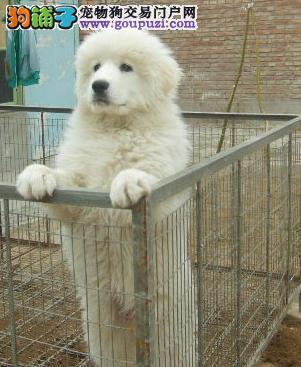 出售纯种血统健康体魄的大白熊 正规犬舍繁殖出售幼犬