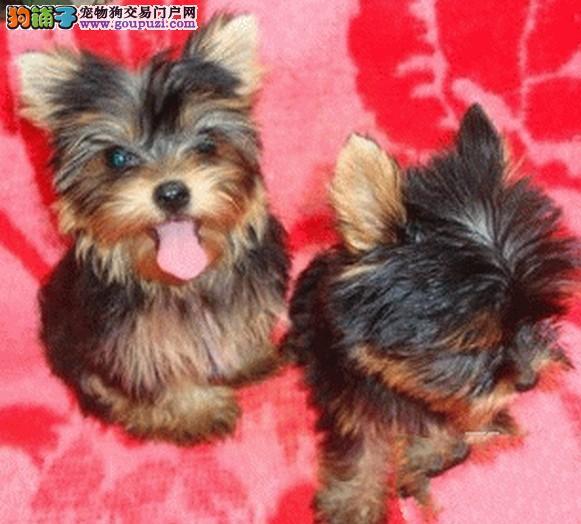韩国引进约克夏最小体约克夏周边送狗上门挑选种公借配