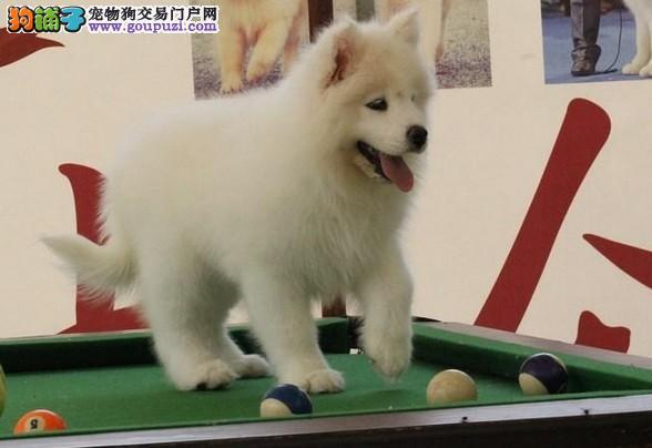 浦东买萨摩耶犬浦东新区卖萨摩耶狗场出售纯种萨摩幼犬