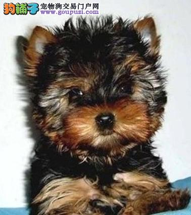 浦东买约克夏犬 卖约克夏犬 基地直销纯种约克夏幼犬