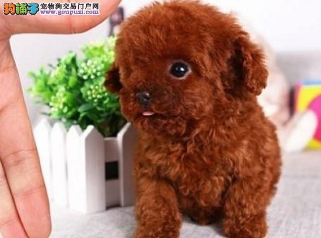 浦东买泰迪熊 浦东新区卖泰迪 狗场出售纯种泰迪犬幼犬