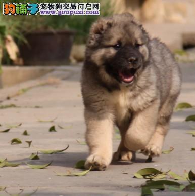 高加索牧羊犬 哪里卖高加索 狗场出售纯种高加索幼犬