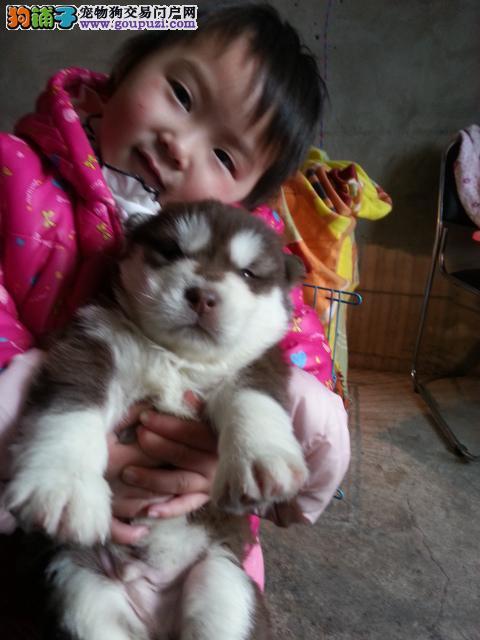 浦东哪里买阿拉斯加幼犬正规基地出售纯种阿拉斯加幼犬