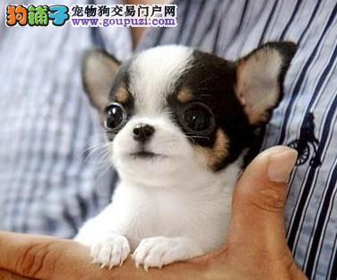 浦东买吉娃娃犬 哪里卖吉娃娃犬 舍出售纯种吉娃娃幼犬