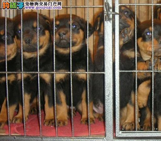 浦东买罗威那 新区卖罗威那 狗场出售纯种罗威那幼犬