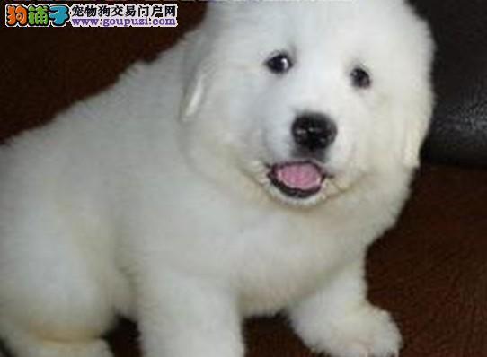 大白熊幼犬直销 上海犬舍出售纯种大白熊幼犬 签协议