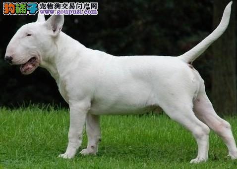 买牛头梗犬 浦东新区卖牛头梗 狗场出售纯种牛头梗幼犬
