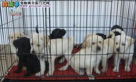 颜色齐全拉布拉多犬 哪里卖拉布拉多 纯种拉布拉多幼犬