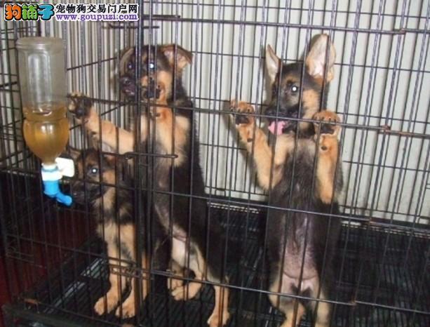 哪里买德国牧羊犬上海环宇名犬出售纯种德牧牧羊犬幼犬