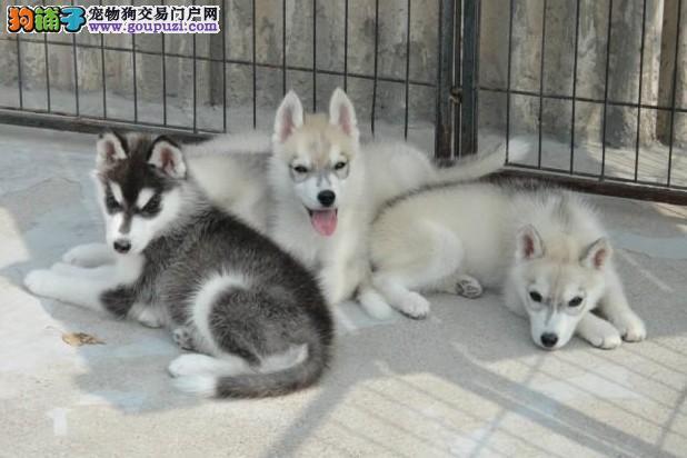 浦东买哈士奇犬 上海卖哈士奇 基地出售纯种哈士奇幼犬