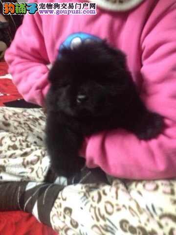 浦东买松狮犬浦东新区卖肉嘴松狮狗场出售纯种松狮幼犬