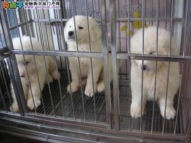 雪兽系纯种大白熊幼犬 骨骼大毛质好 极品幼犬待售直销