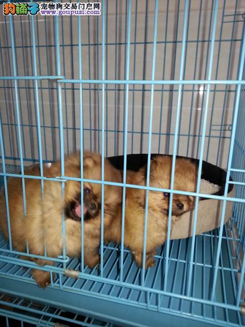 包健康签协议纯种哈多利亚球形博美幼犬出售了可送货