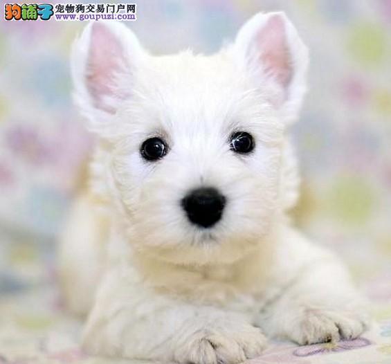 广州买西高地到哪个狗场买好 广州西高地价格 图片