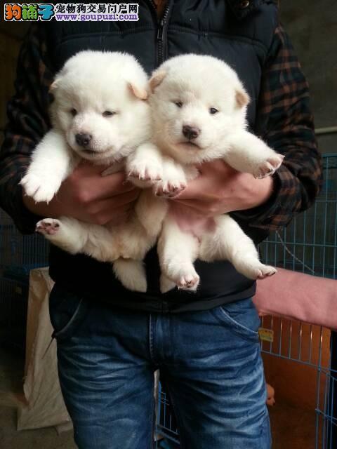 秋田犬价格柴犬价格 秋田犬和柴犬的区别 到哪里买纯种