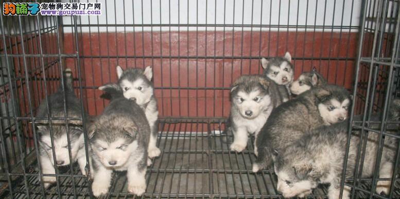 纯种阿拉斯加雪橇犬 高品质阿拉斯加幼犬待售 金宝犬业