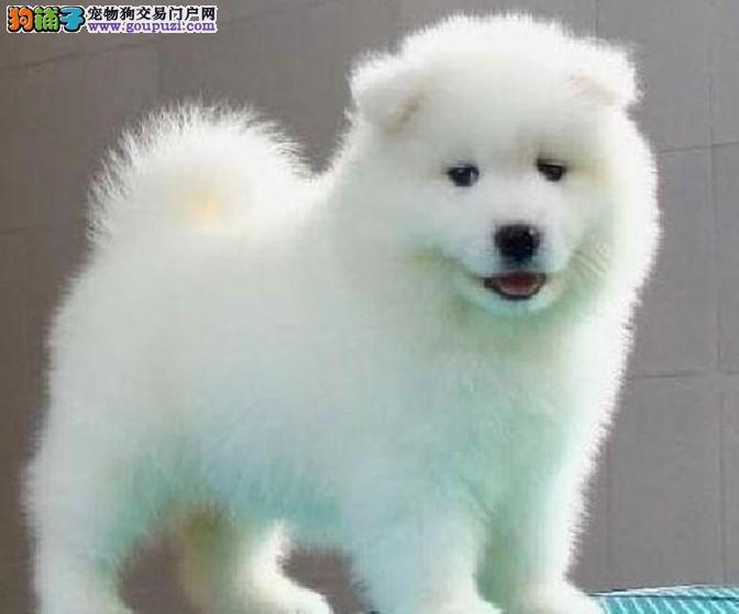 萨摩哪里卖? 纯种萨摩幼犬 萨摩多少钱 萨摩金宝犬业卖