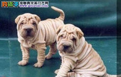 沙皮犬 沙皮狗 血统纯正品相好的沙皮幼犬金宝犬业出售