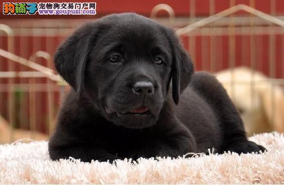 拉布拉多犬 拉布拉多幼犬出售|权威认证|终生质保|配种